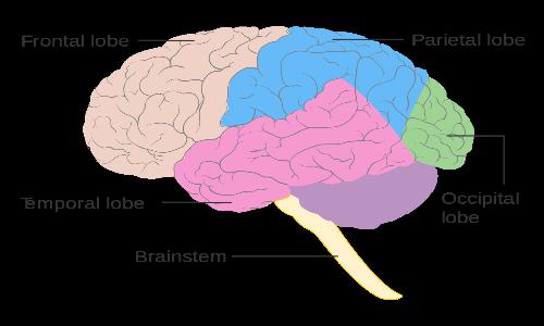 Nella sindrome di Capgras a lesione singola, l'emisfero destro sembra essere il più colpito, specialmente i lobi frontali e temporali.