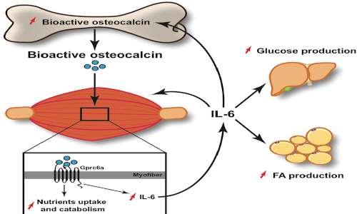 l'osteocalcina aumenta l'entrata di glucosio all'interno del muscolo come l'insulina
