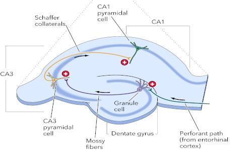 L'osteocalcina aumenta la stimolazione dei neuroni nelle regioni CA3 e CA1