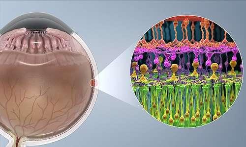 Cellule fotosensibili (bastoncelli e coni) sulla retina. Le EnChroma glasses fanno da supporto ai coni non funzionanti nei daltonici.