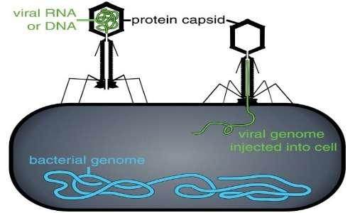 Per produrre infezione, il fago lambda si ancora alla parete cellulare batterica e riversa il suo DNA nel citoplasma batterico. Sfrutterà poi le strutture del batterio per dare inizio dalla sua replicazione.