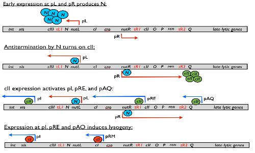 Sezione del genoma del fago lambda. Nonostante apparentemente molto complesso, possiamo idealmente dividerlo in due parti distinte: una strutturale e una regolatrice.