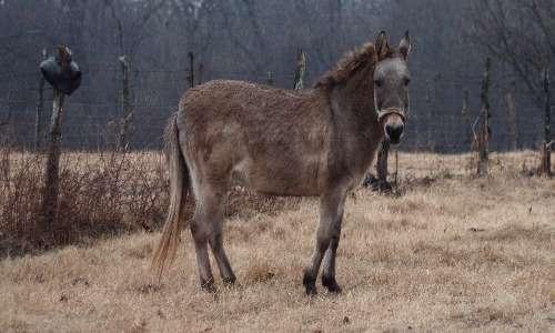 Mulo e bardotto possiedono caratteristiche che i genere li contraddistinguono.