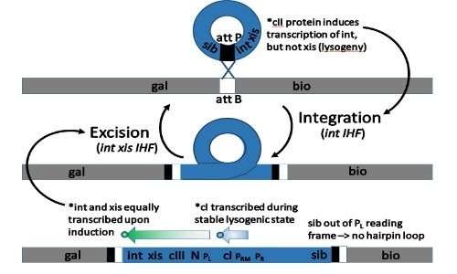 La regolazione dei meccanismi di integrazione ed excisione del fago lambda dipende dalle proteine xis e int.