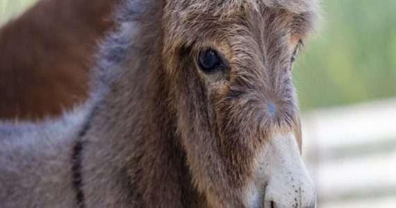 Mulo e bardotto sono ibridi equini tendenzialmente sterili che nascono dall'accoppiamento fra asini e cavalli.