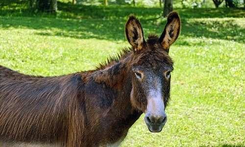 Mulo e bardotto sono ibridi equini generalmente sterili. Il mulo è certamente più noto e in passato veniva spesso utilizzato dall'esercito per il trasporto delle armi e di altri materiali.