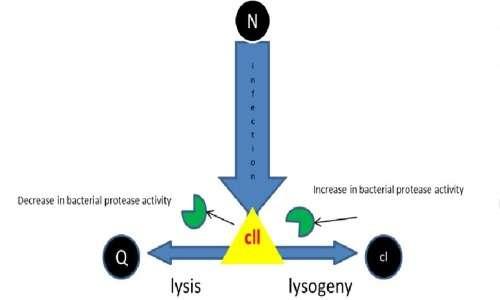 In base al ciclo di infezione che compie il fago lambda, la concentrazione delle specifiche proteine varierà.