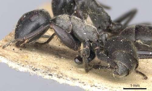 Il fungo parassita delle formiche predilige le formiche Camponotus leonardi come specie ospiti.