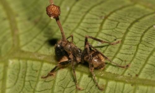 Lo sporoforo, del fungo parassita delle formiche, crescerà fino a che non uscirà dalla testa dell'insetto.