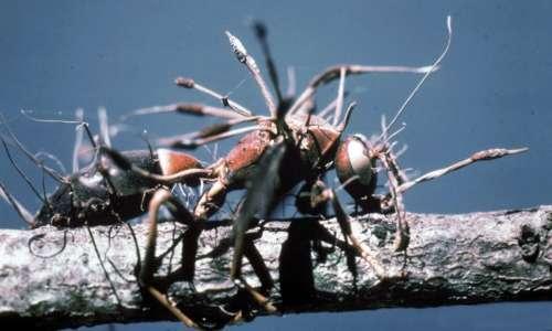 Il fungo parassita delle formiche farà fissare la formica grazie al suo morso.