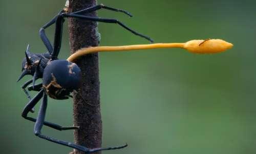 Non si tratta di un'unica specie di fungo parassita delle formiche ma di un complesso.