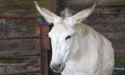 Mulo e bardotto sono animali che derivano da incroci fra asini e cavalli. Il mulo è sicuramente l'equino ibrido più celebre.