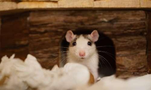 Esperimenti sui topi hanno dimostrato che l'ossitocina può legarsi ai recettori della vasopressina.