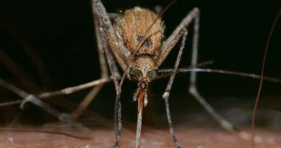 Virus del Nilo occidentale: la zanzara è il vettore per eccellenza.