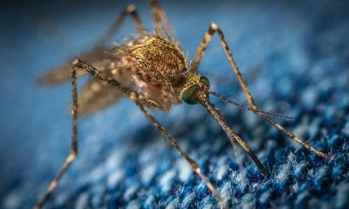 Il virus del Nilo occidentale può essere mortale per i pazienti immunodepressi.