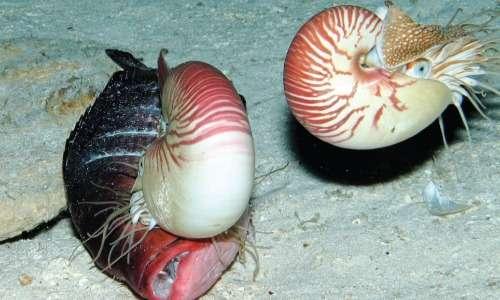 Il nautilus si nutre principalmente di crostacei e pesci morti.