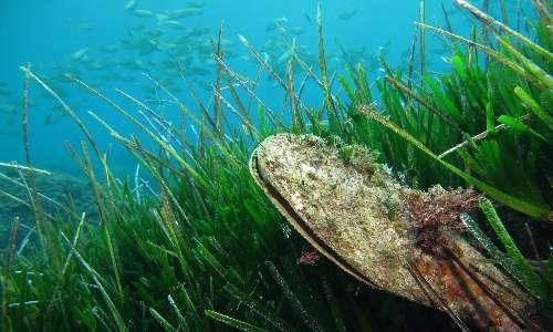 Pinna nobilis è un mollusco bivalve che vive nelle praterie di Posidonia oceanica.