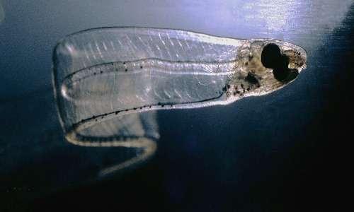 Migrazione anguilla ha uno stadio larvale dove l anguilla si chiama leptocefalo.