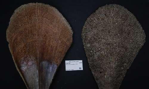 Pinna nobilis è un mollusco bivalve endemico del Mediterraneo.
