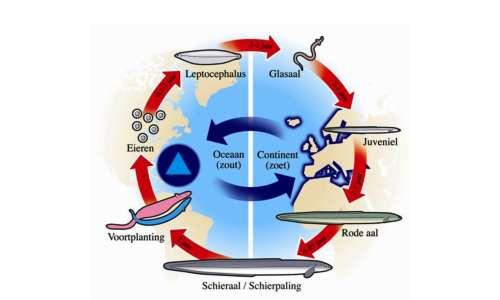 Migrazione anguilla è una particolare fase del suo ciclo vitale.