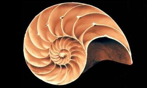 La conchiglia del nautilus è concamerata ma le diverse sua parti sono comunicanti.