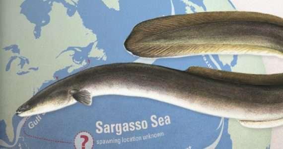 Migrazione anguilla è un misterioso viaggio verso il mar dei Sargassi.