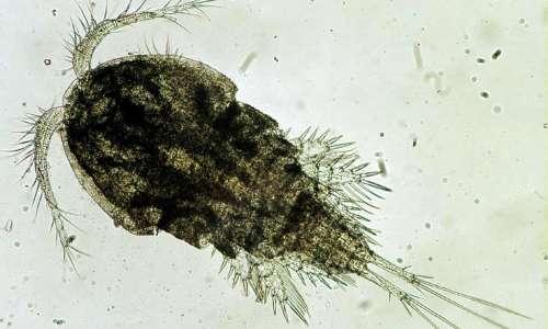 L'ospite intermedio di Dracunculus medinensis è il copepode Cyclops.