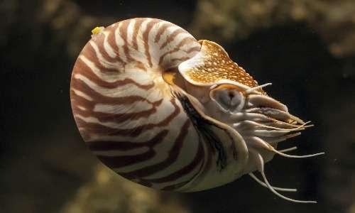 Purtroppo, i nautilus sono pescati illegalmente per le loro affascinanti conchiglie.