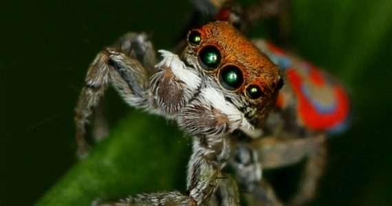 Il ragno pavone vive e si riproduce in Australia.