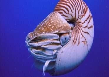 Il nautilus è un mollusco cefalopode tetrabranchiato.