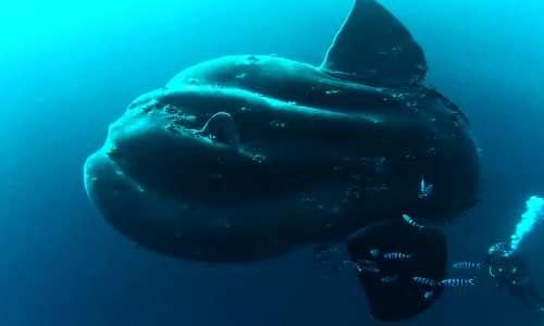 Il pesce luna è il più grande e strano pesce osseo.