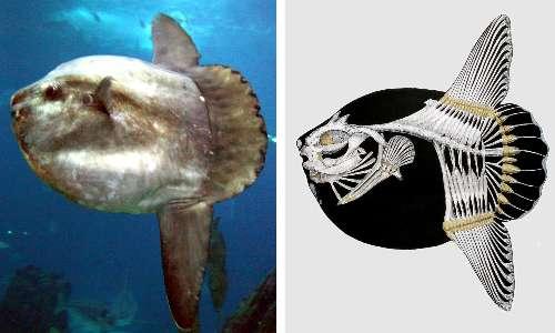 Il pesce luna è il più grande pesce osseo.