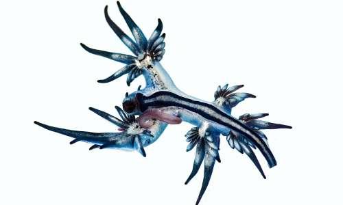Nel 2014, uno studio sul drago blu ha rivelato la presenza di un complesso di specie.