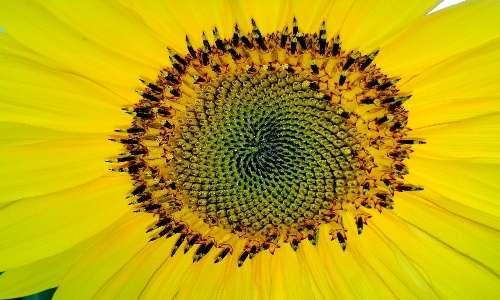 La successione di Fibonacci la si trova anche in alcuni fiori.