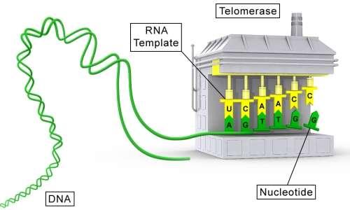 L'enzima telomerasi assicura l'integrità dei telomeri.