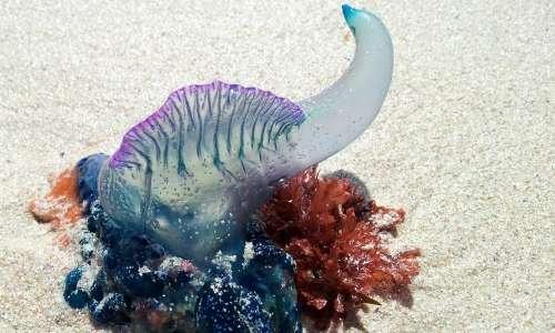 Il drago blu si nutre della famosa caravella portoghese.