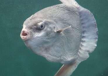 Il pesce luna è il più strano animale marino.