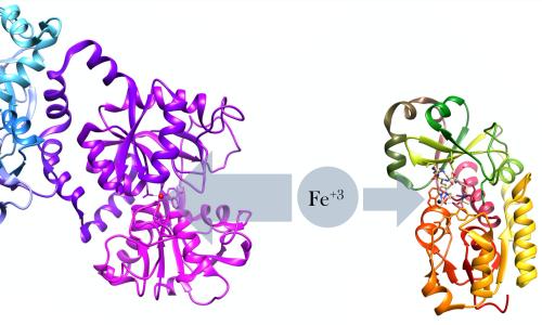 La lattoferrina sottrae il ferro dall'ambiente circostante impedendo, così, la proliferazione batterica.