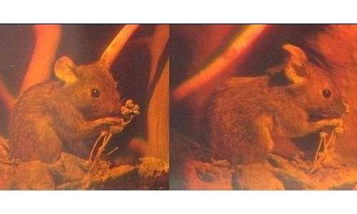Effetto ologramma di un topolino visto da due angoli diversi su pellicola fotografica