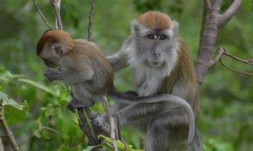 I neuroni specchio osservati nel macaco da Giacomo Rizzolatti sono stati successivamente trovati anche nell'uomo.