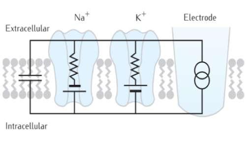 Il pensiero computazionale si radica nell'elettrofisiologia e nella biologia
