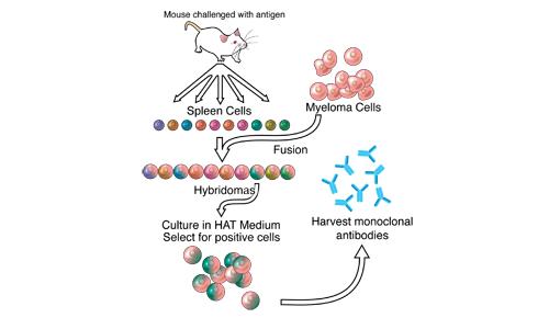 Come creare gli anticorpi monoclonali.