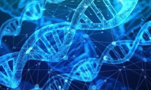 Grazie all'azione della telomerasi non vi è perdita di informazione genetica durante la duplicazione del DNA.