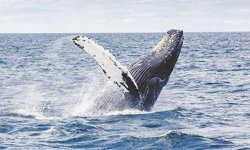 Il rumore subacqueo disturba soprattutto i cetacei.