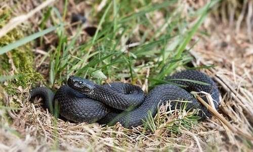 Vipera berus è tra i serpenti velenosi in Italia, quella con l'areale più grande a livello europeo.