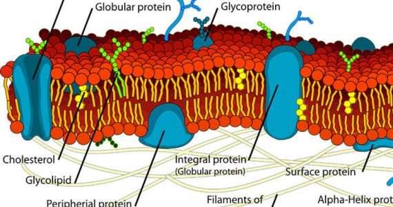 Trasporto attivo e passivo sono fondamentali nella cellula