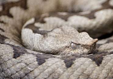 I serpenti velenosi in Italia sono una minaccia?