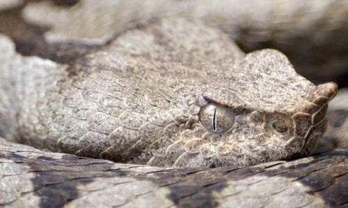 Vipera ammodytes: uno dei serpenti velenosi in Italia.
