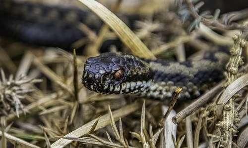 Non solo ragni: ci sono anche dei serpenti velenosi in Italia.