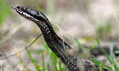 I serpenti velenosi in Italia non sono pericolosi per l'uomo.